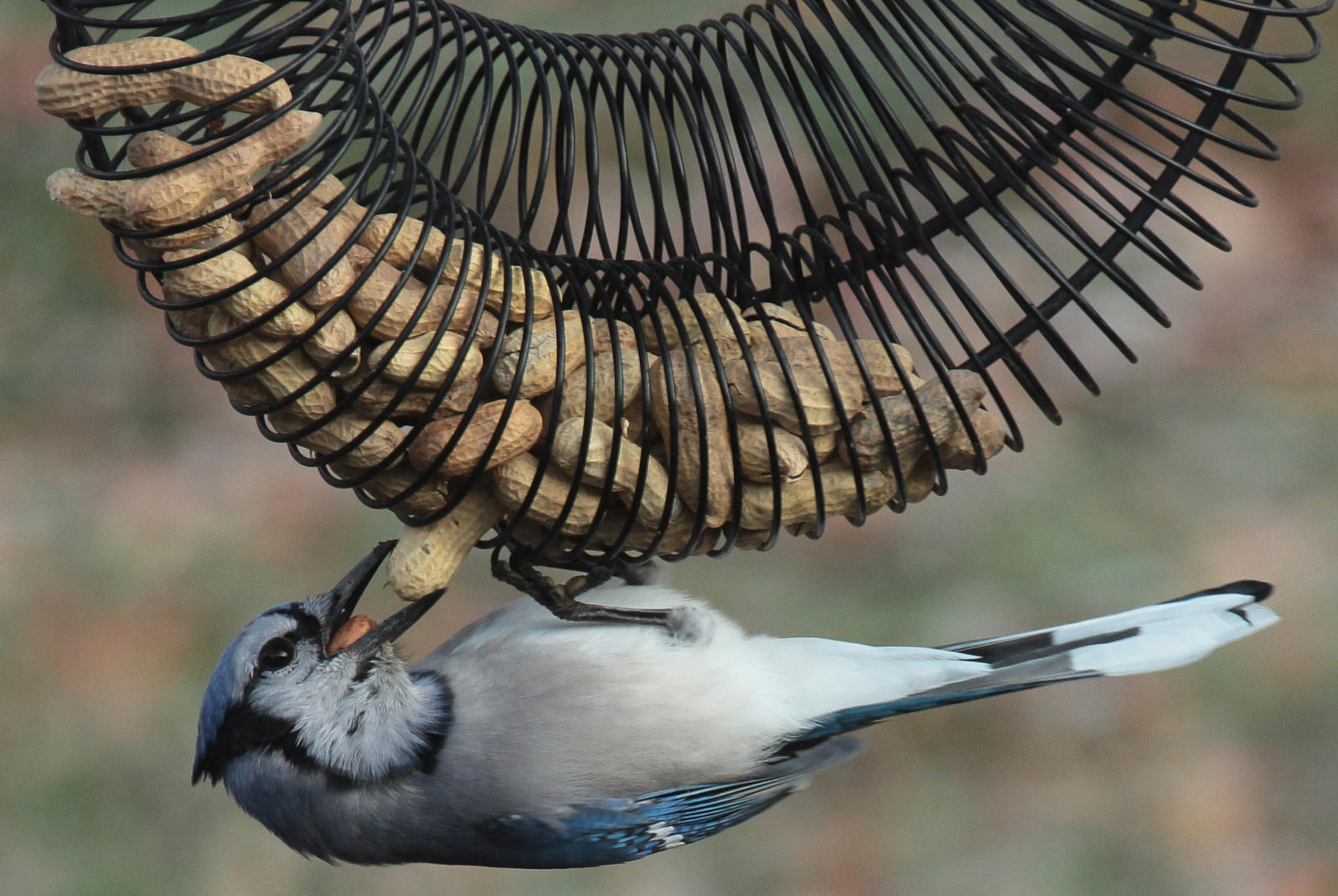 Blue Jay enjoying an in-shell peanut wreath feeder.