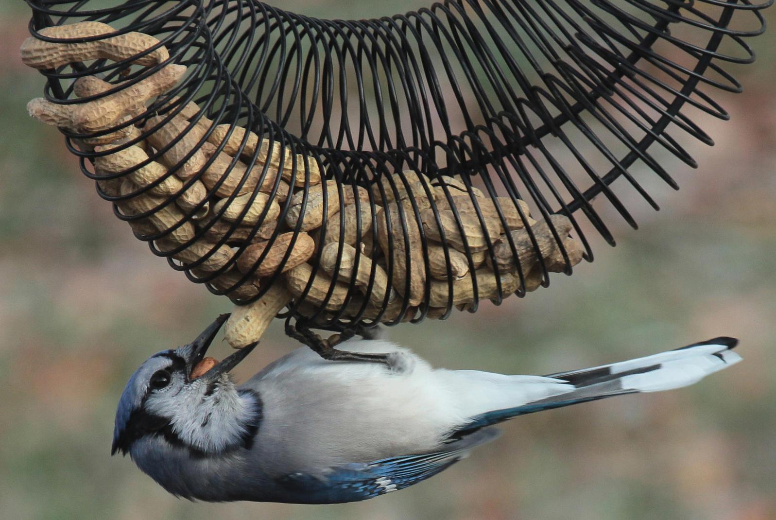 Blue Jay enjoying an in-shell peanut wreath feeder.