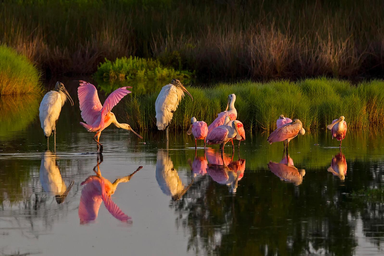 Roseate Spoonbills and Wood Storks