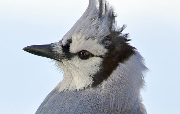 Living through a pandemic with John Jay, Beidler's resident Blue Jay