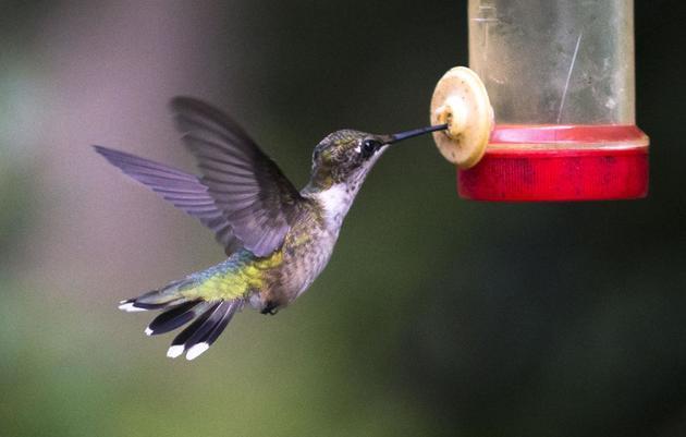 Hummingbird bonanza fills air at Summerville SC Cypress Swamp farm