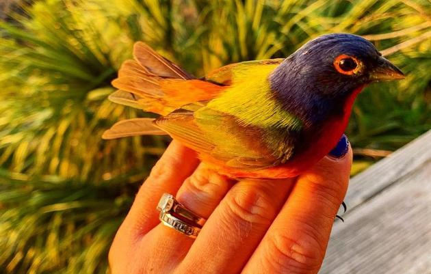 Unlocking the Mystery of South Carolina's Painted Buntings