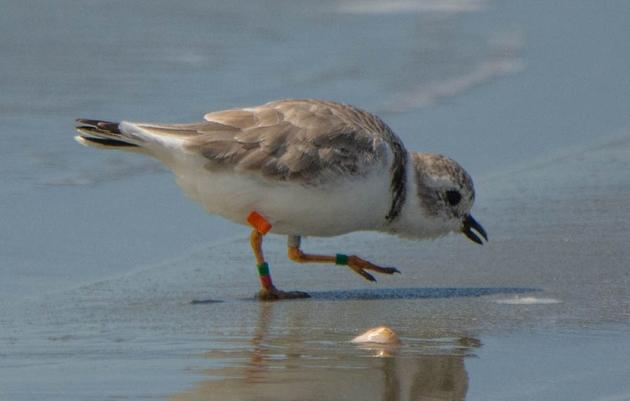 """A Very Personal Seabrook Island Piping Plover """"Life Story"""""""