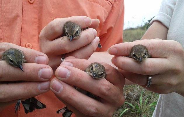 Bird Banding on Sullivan's Island