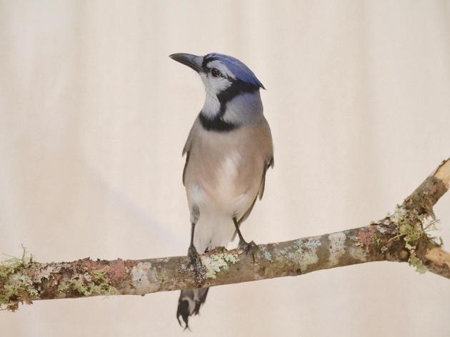 Introducing...John Jay Audubon!