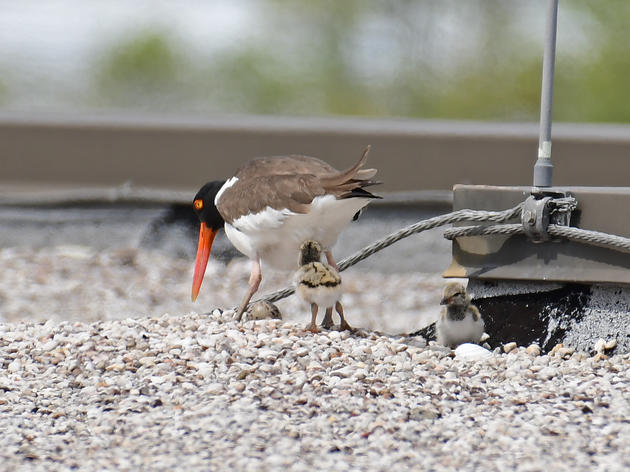 Oystercatchers nest on Charleston rooftop as shorebirds struggle to adapt to city life