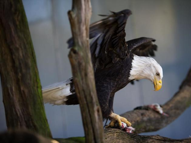 SC bald eagle, killed in mating season war, shipped to Colo. 'morgue' for carcass harvest