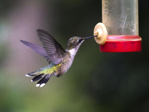 Hummingbird bonanza fills air at Summerville SC Cypress Swamp farm