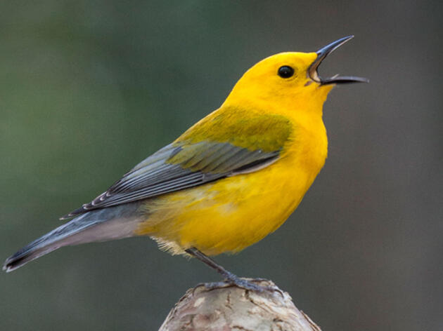 Prothonotary Warblers: FAQs and First Sighting Contest