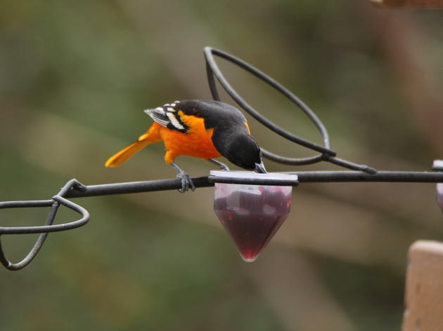 Adding color to the South Carolina landscape: Baltimore Orioles frequent guests of the Palmetto State