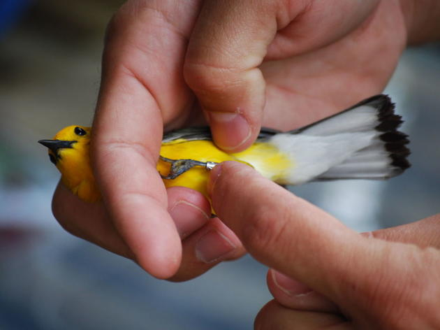 Oh So 'Tweet': Effort Underway to Band, Track Songbirds at Old Santee Canal Park