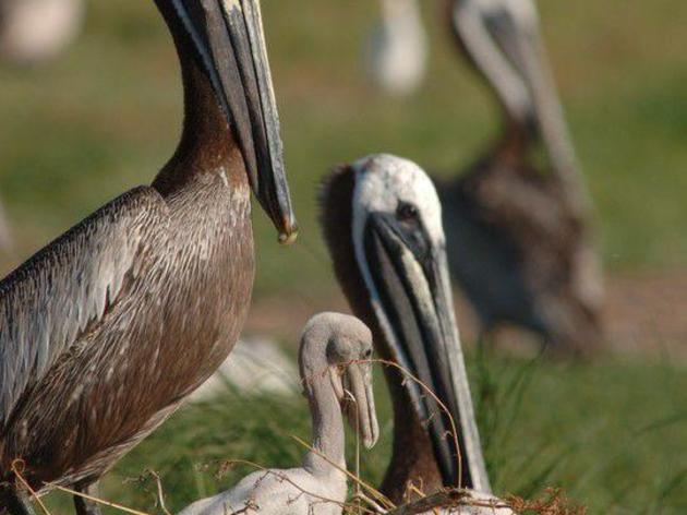 Return of nesting birds to Crab Bank Seabird Sanctuary one step closer