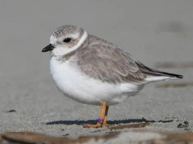 An amazing Piping Plover sighting on Seabrook Island North Beach