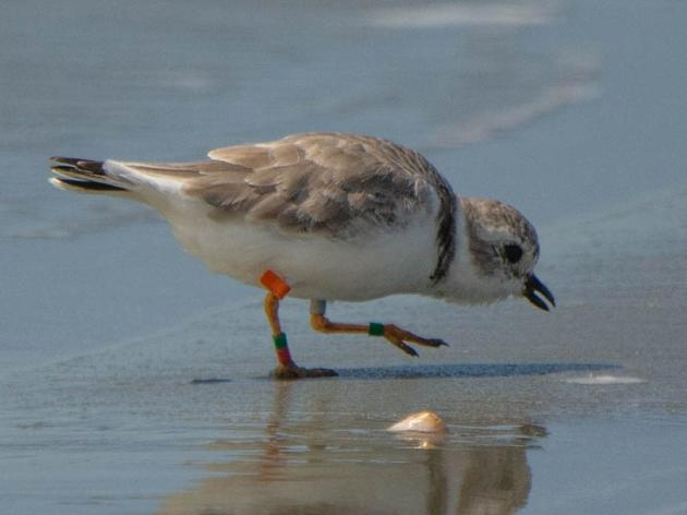 "A Very Personal Seabrook Island Piping Plover ""Life Story"""