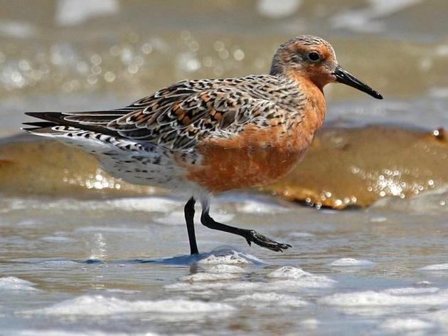 Declining bird populations rely on Beaufort Co. beaches. Here's how you can help them