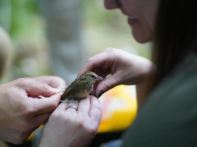 The hunt for the secrets of the ghost bird, a high tech collaborative approach to tracking Swainsons Warblers