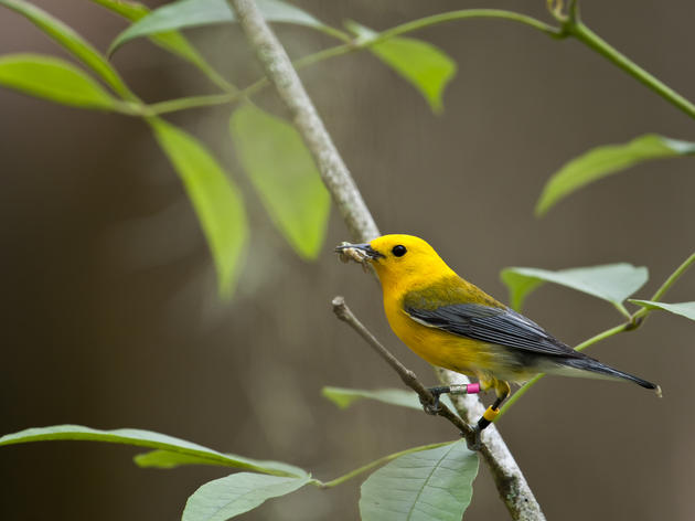 Prothonotary Warblers at Beidler
