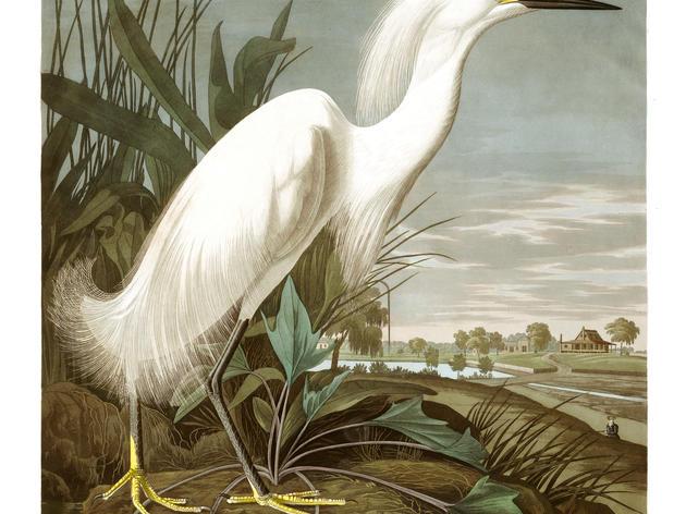 Fashion, Feathers, and Audubon