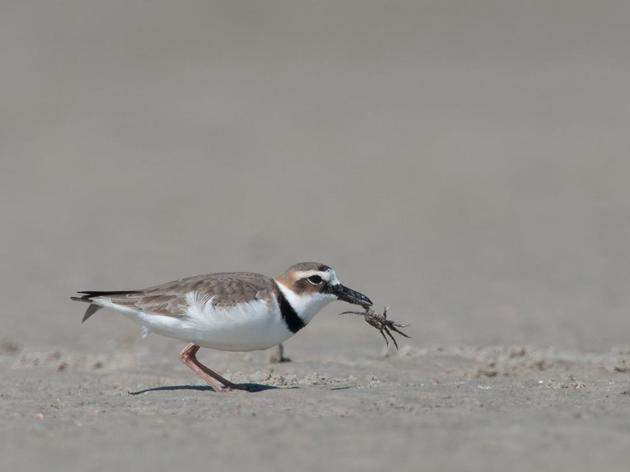 South Carolina's nesting shorebirds face increased threat as beach season approaches
