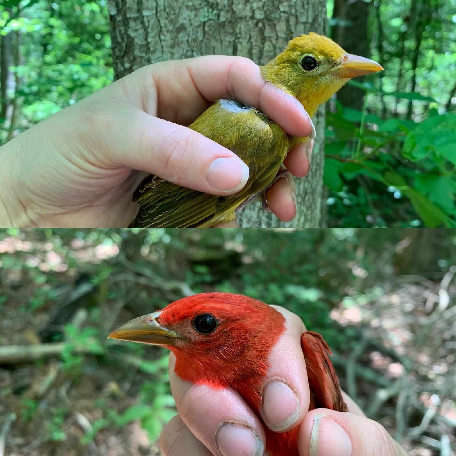A male and female comparison photo of Summer Tanagers