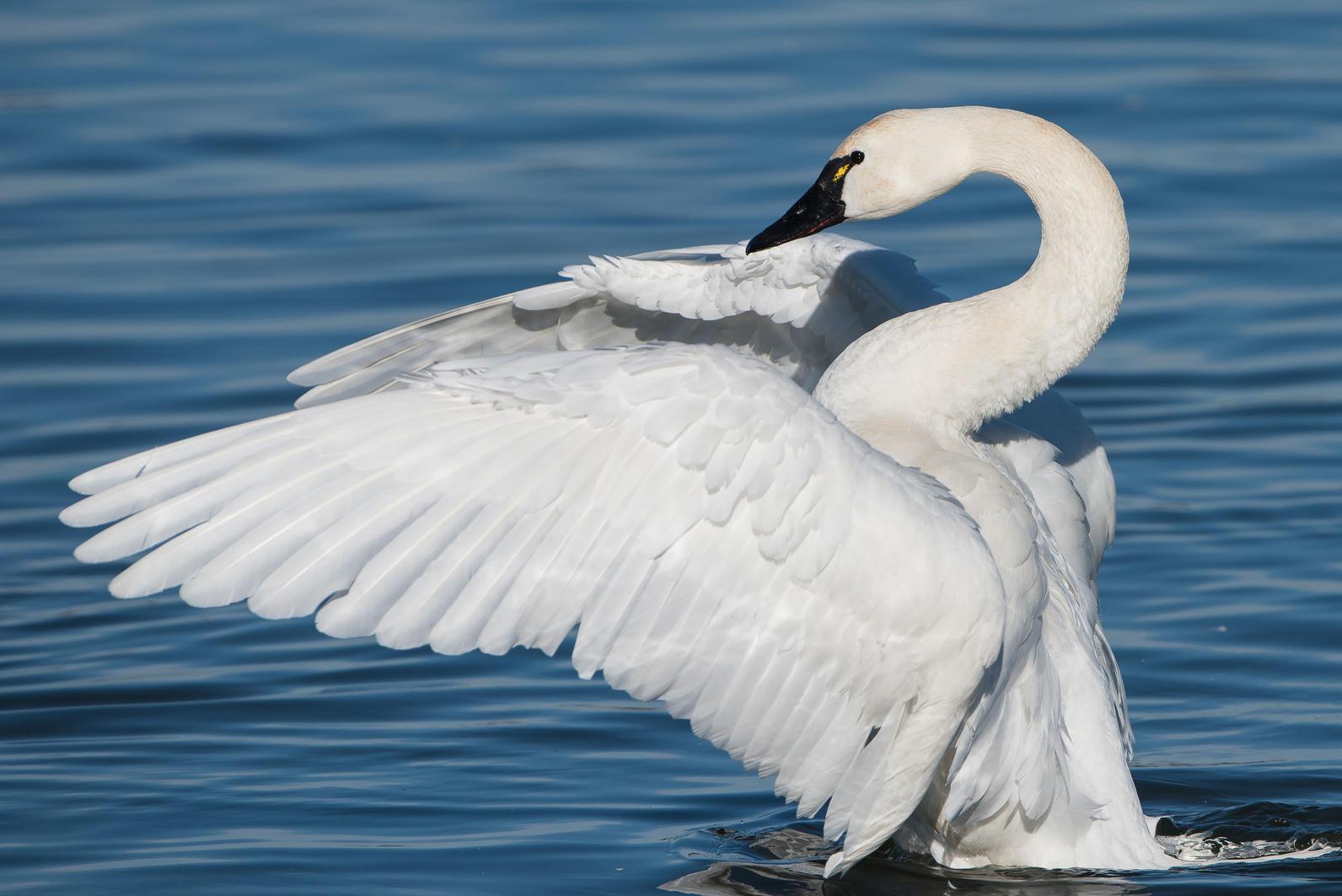 flight of the swan audubon south carolina