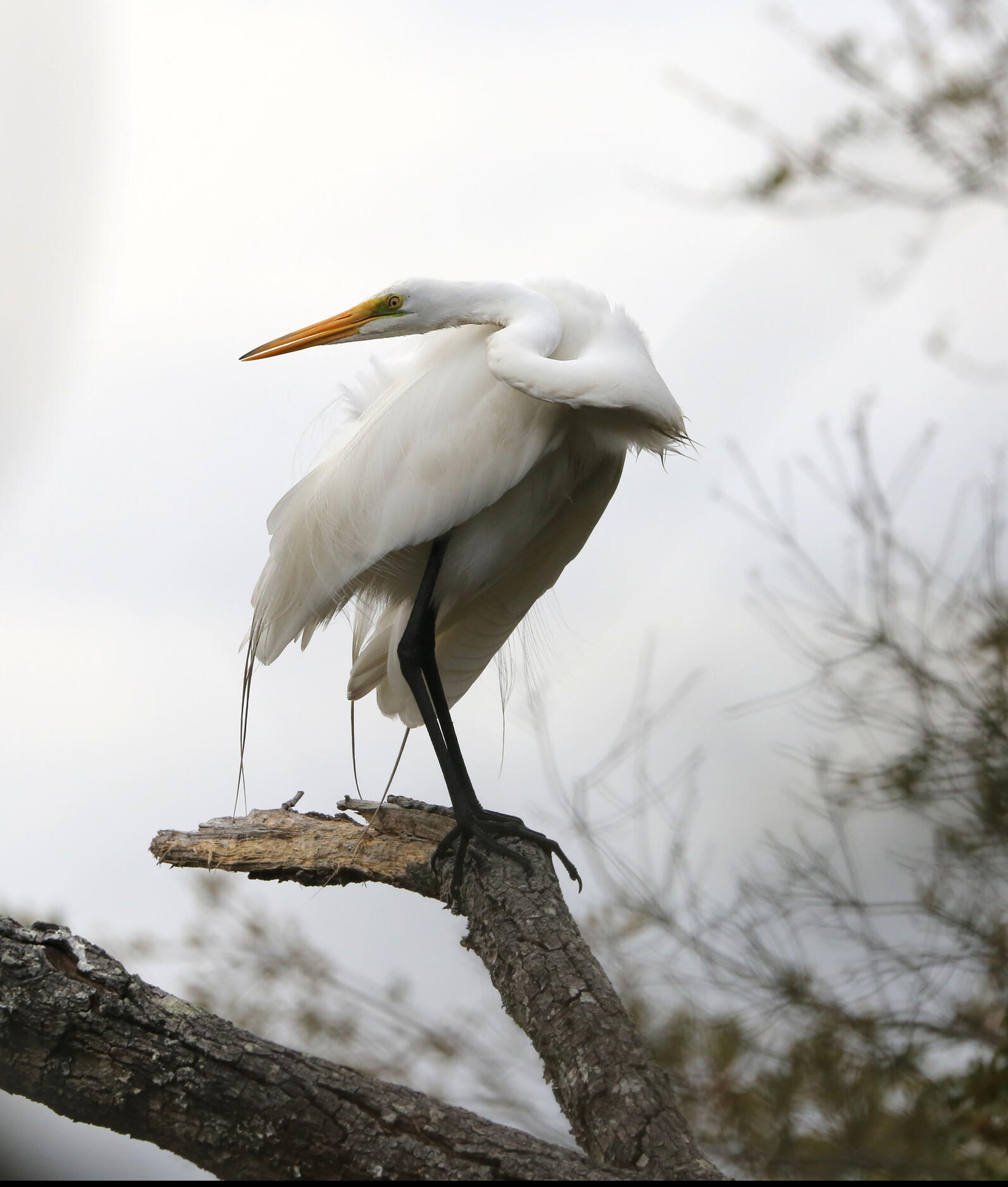 Great Egret, brilliantly white, perched on a dead thick snag