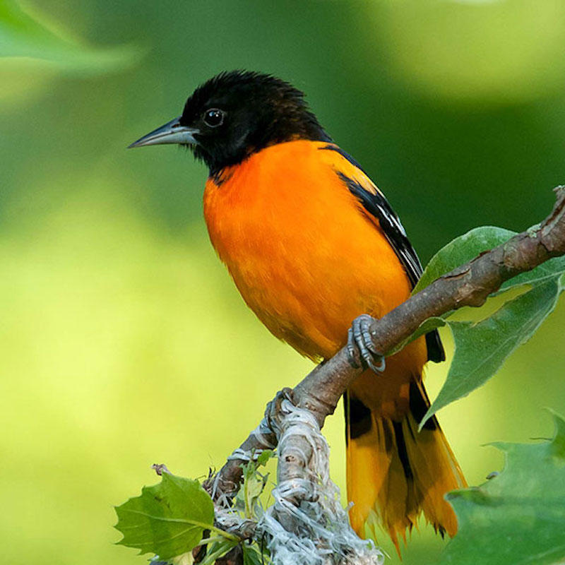 LWCF helps preserve undeveloped land across the country, saving habitat for birds like the Baltimore Oriole.