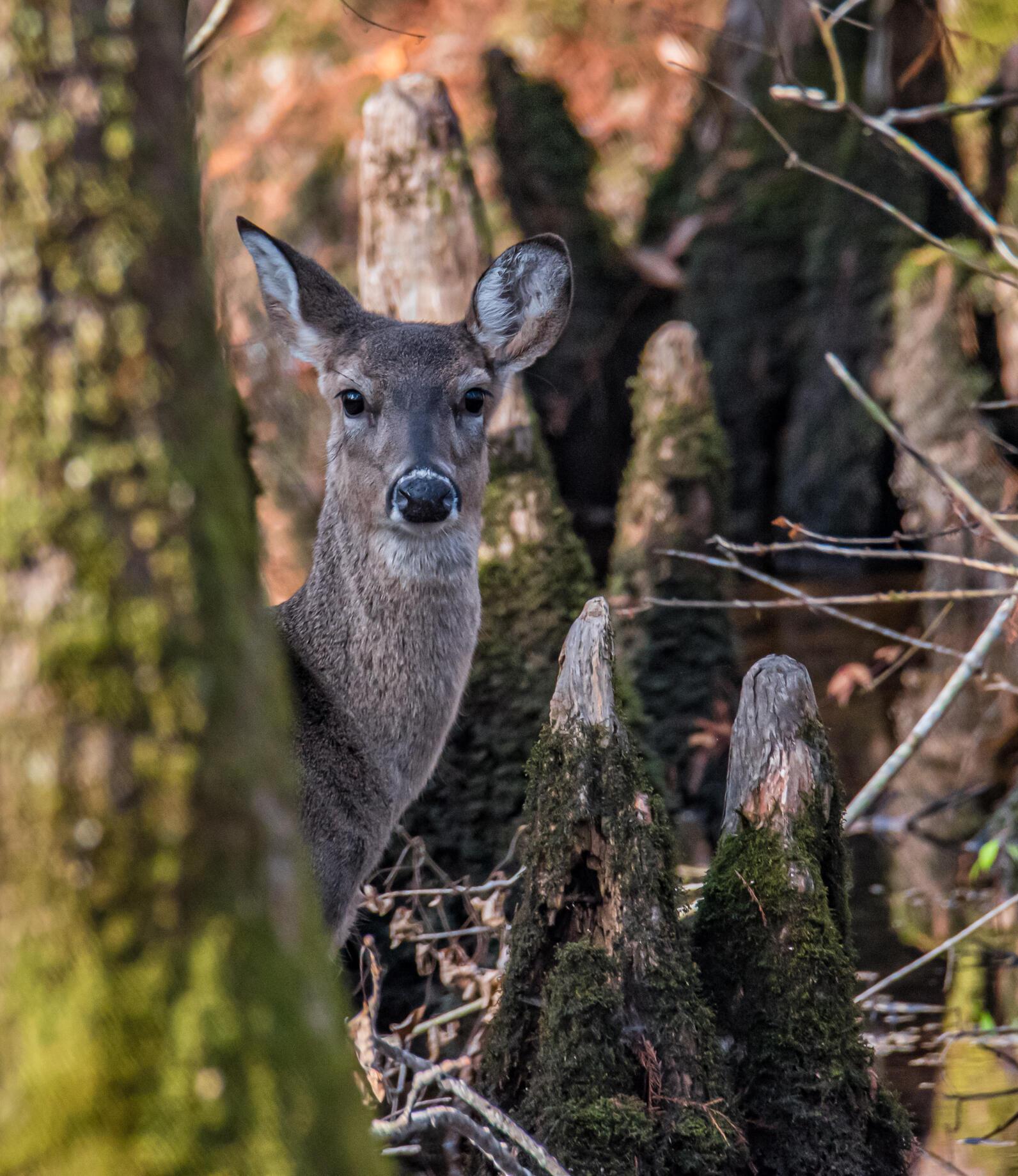 Deer, Beidler Forest
