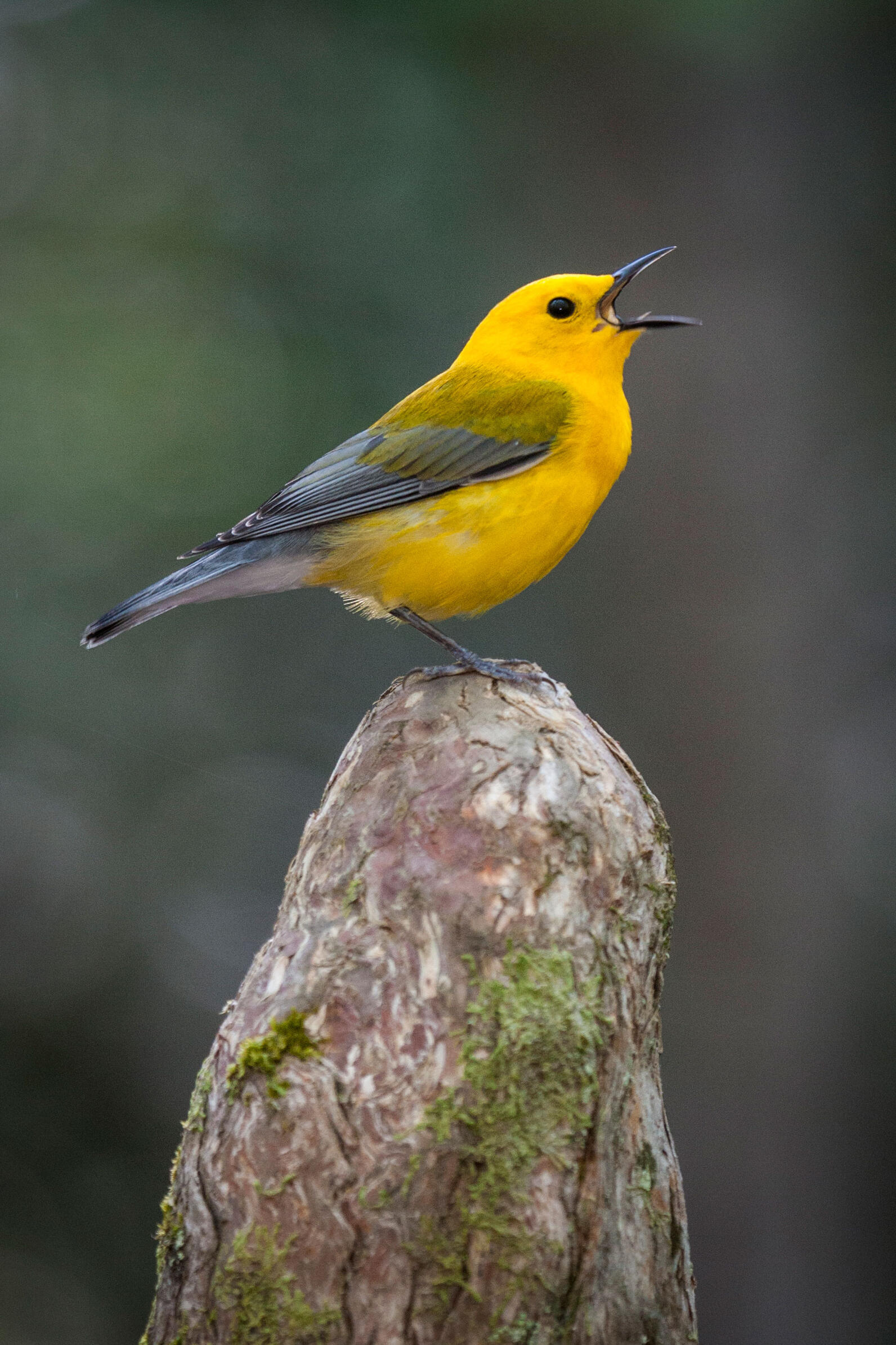 """Prothonotary Warbler, or """"swamp canary,"""" singing, belting to the sky from a Bad Cypress knee."""
