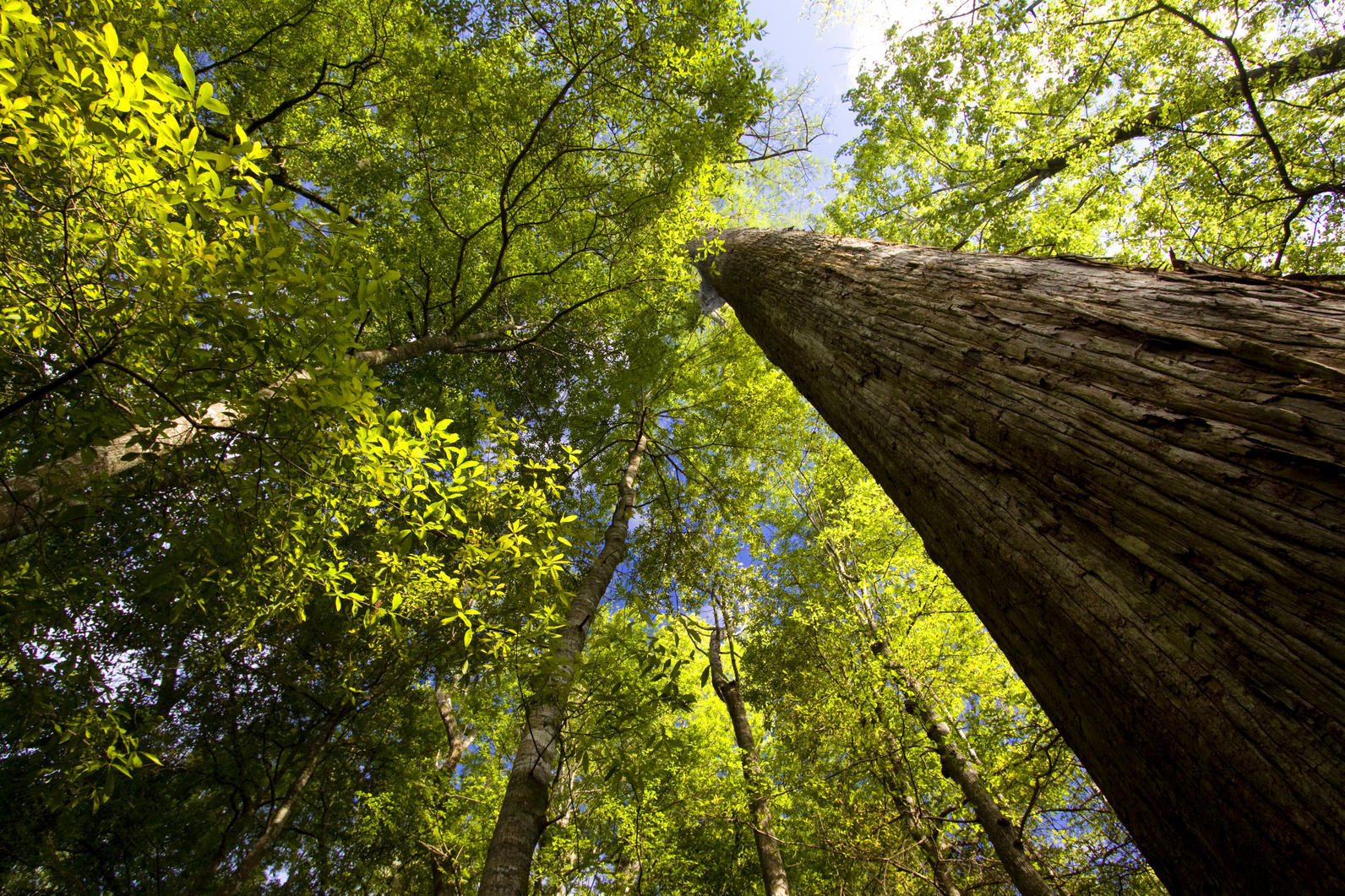 Ancient cypress trees at ASC's Beidler Forest are protected thanks in part to CB funds.