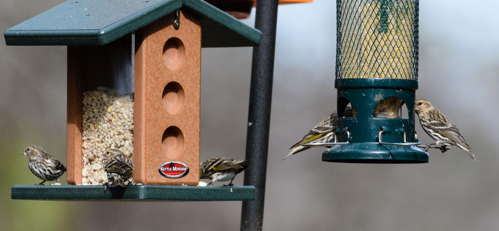 Five Pine Siskins eat sunflower chips from two feeders hanging from double armed pole in the grasslands of Beidler Sanctuary
