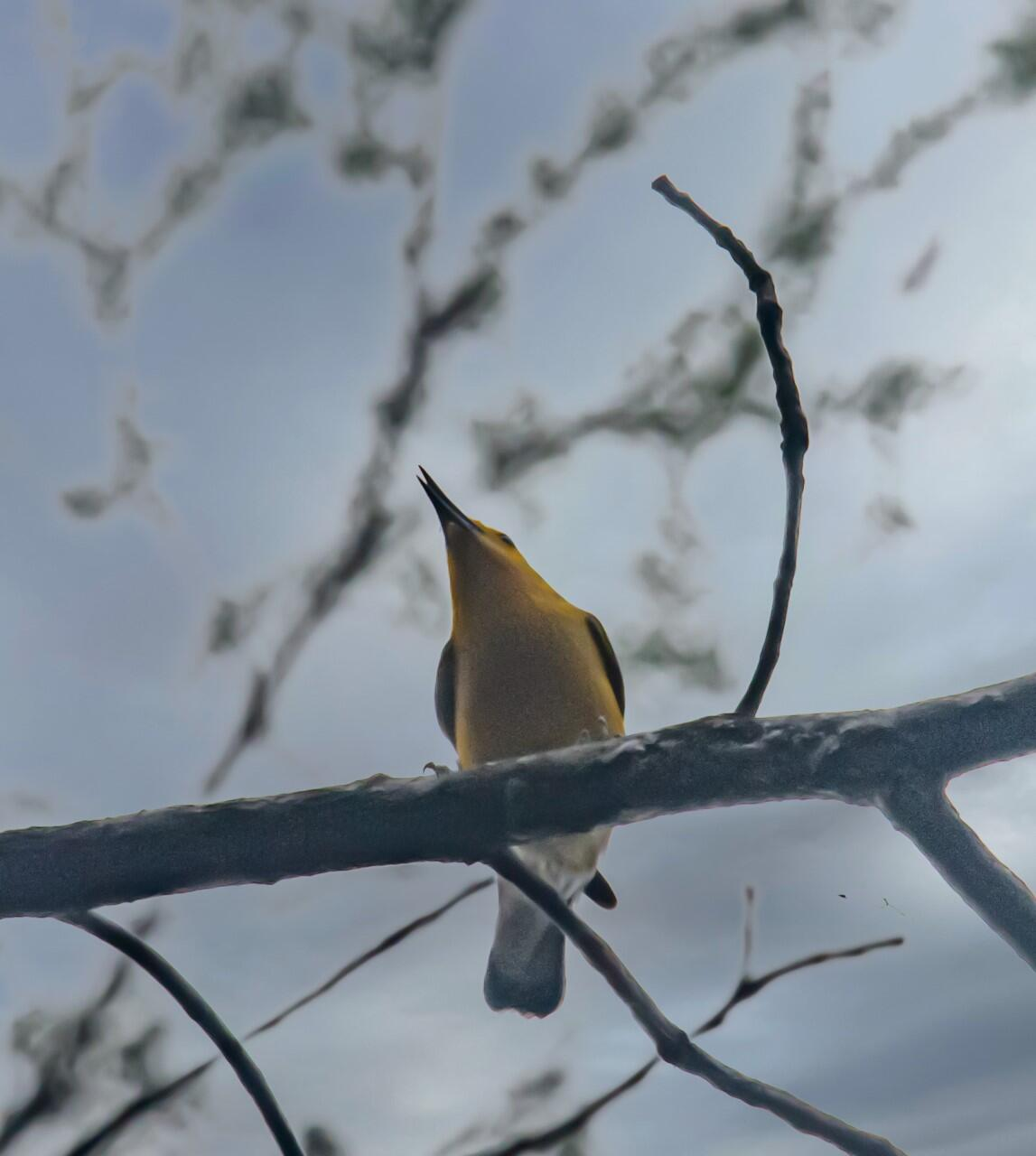 This picture was taken looking up at a yellow bird with slender long beak perched high up on a branch with light blue sky behind the bird.