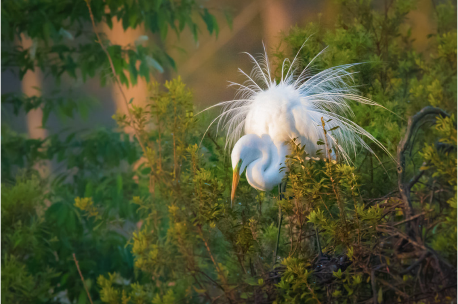 Great White Egret displaying its breeding plumage in the golden hour.
