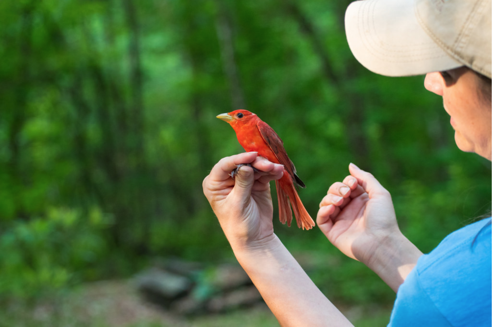Audubon South Carolina's Master Bird Bander Jennifer Tyrrell holds a Summer Tanager.