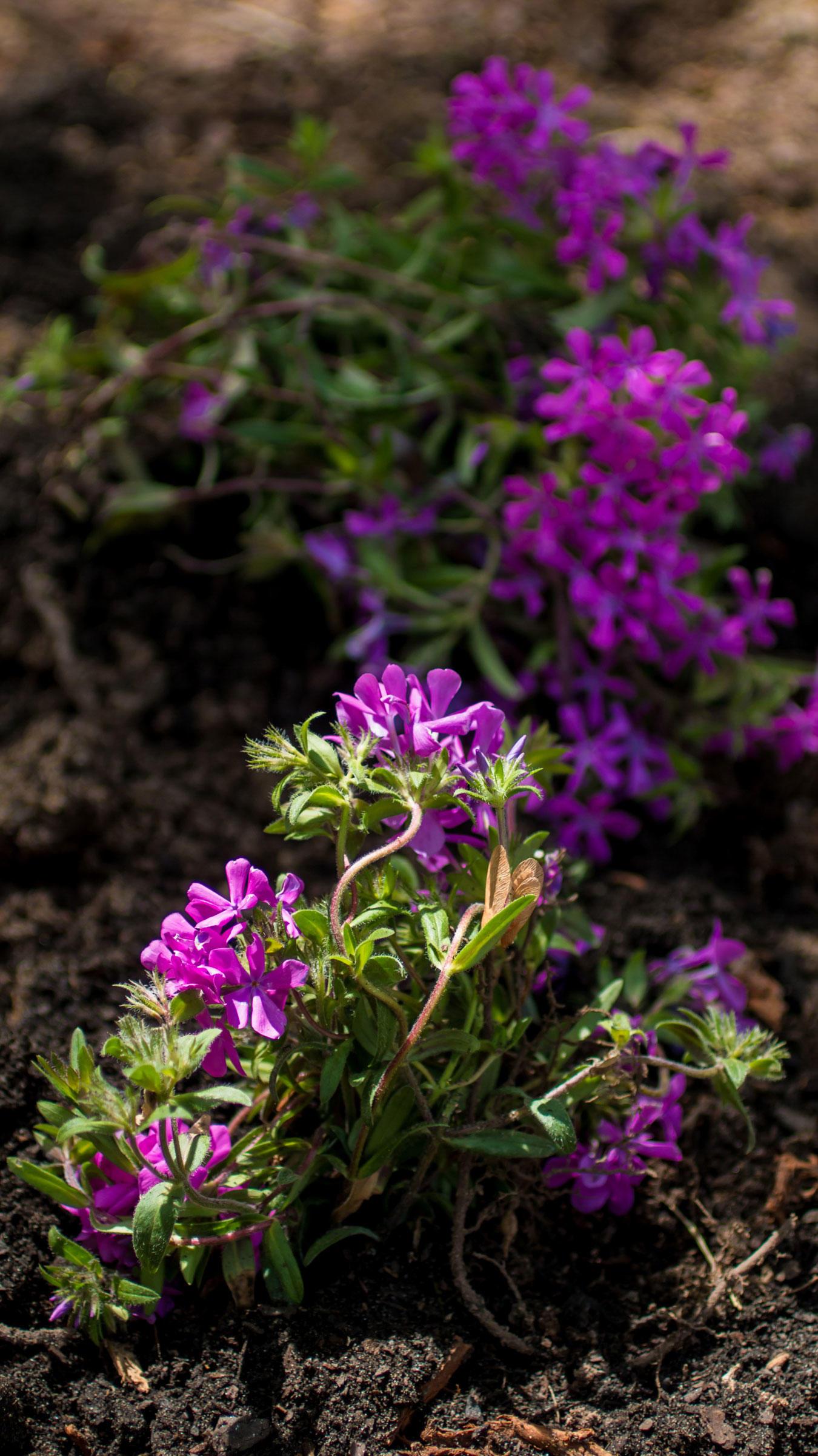Purple phlox.