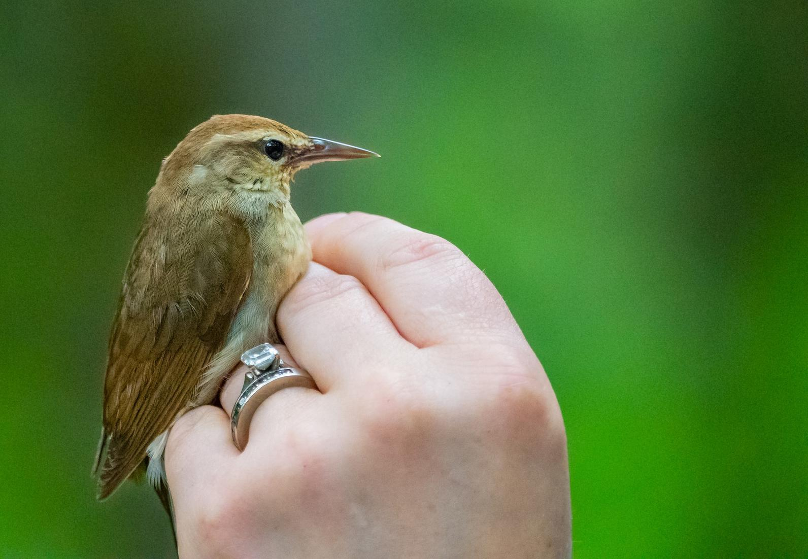 The elusive Swainson's Warbler