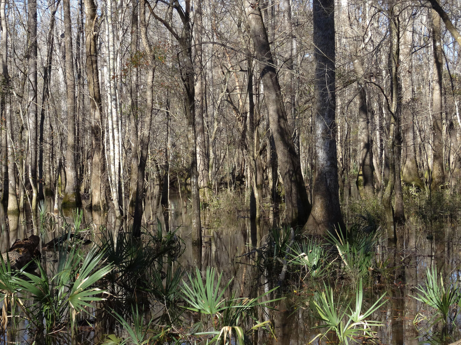 Wassamassaw Swamp in the winter with great reflections of Tupelo and Dwarf Palmettos across a wet landscape