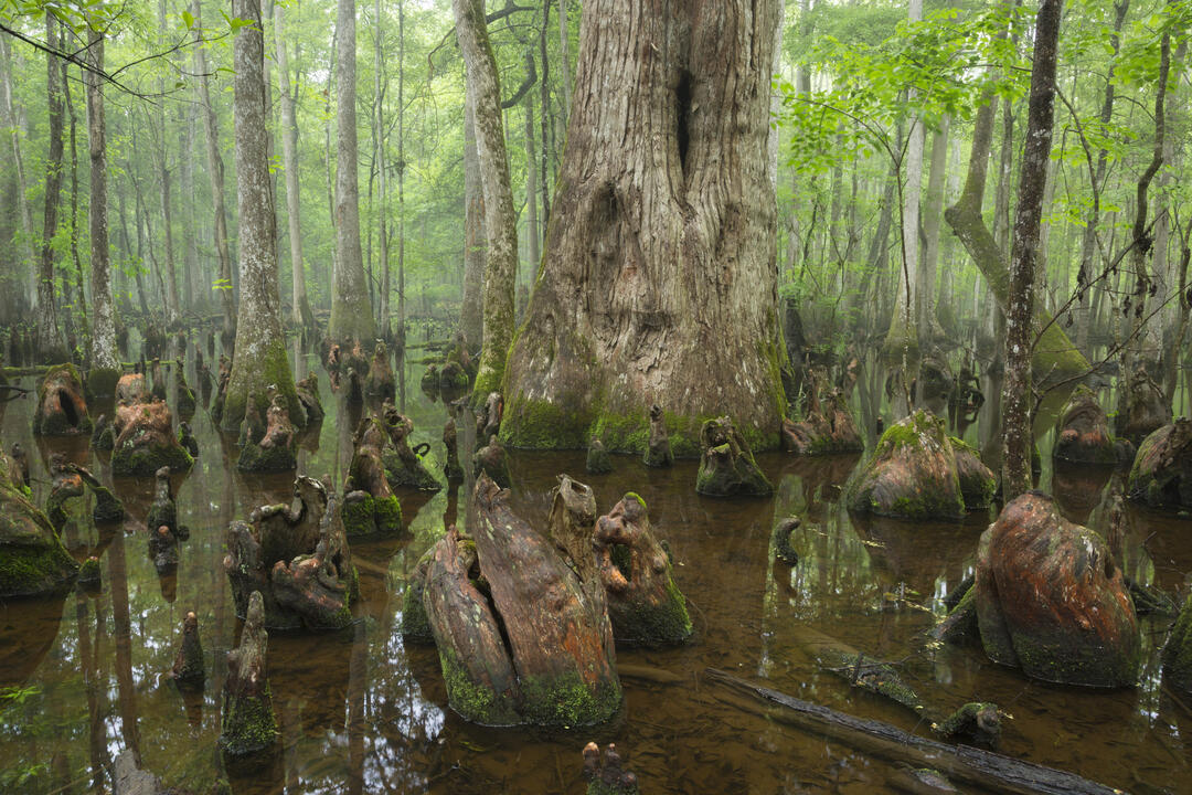Cypress knees emerge, in all their various shapes from the shallow water of Beidler Forest. Full green leaves blanket above.