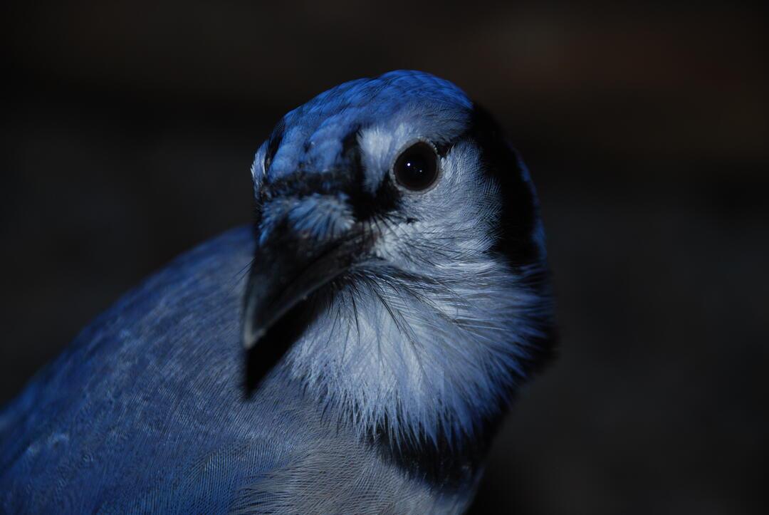 John Jay, Beidler's resident Blue Jay
