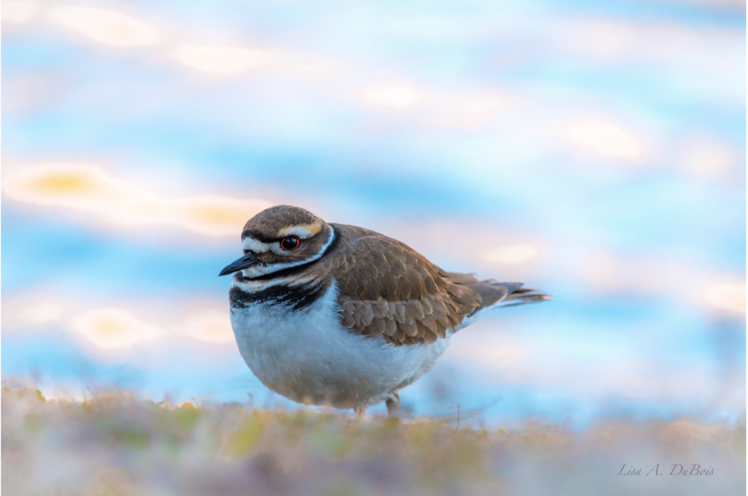 Killdeer at morning blue hour.
