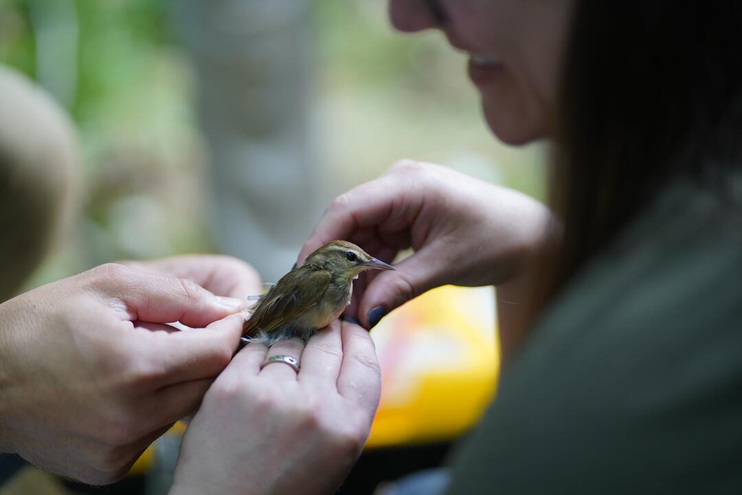 A woman with dark brown shoulder-length hair holds a Swainson's Warbler in her hands. She has gray-purple fingernail polish and silver ring